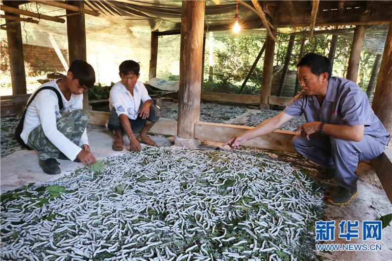 (网络媒体走转改)云南陇川:发展蚕桑产业推进精准扶贫