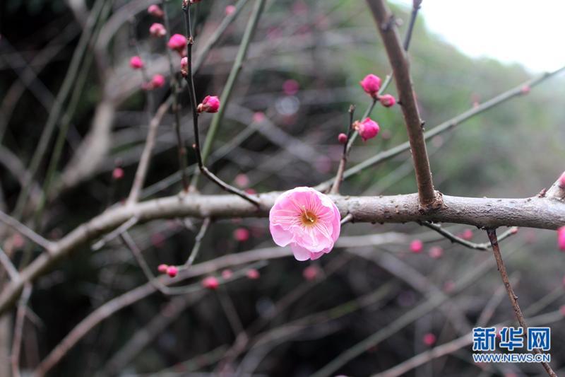 又是一年赏梅时 杭州超山梅花节开幕