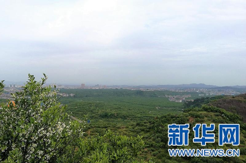 中国蜜桔之乡——江西南丰万亩桔花香满城