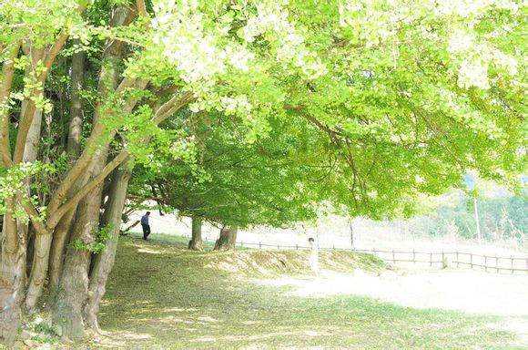 世界古银杏之乡雨冲