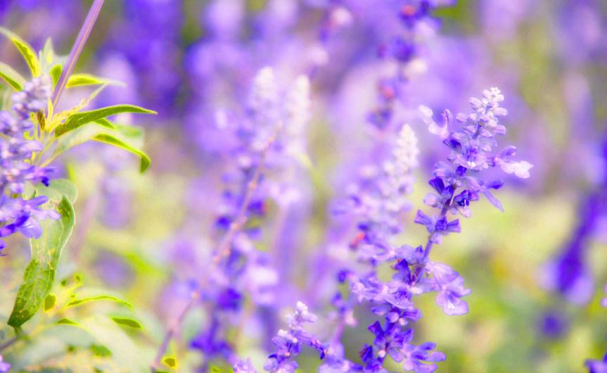 薰衣草的花语和唯美传説