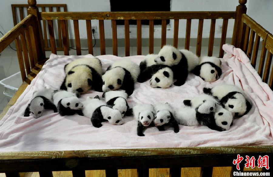超可爱的大熊猫宝宝