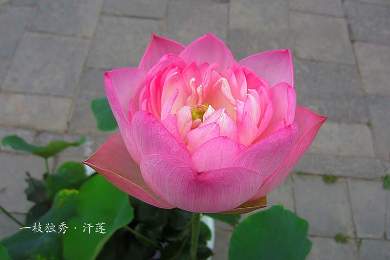 折纸莲花盆步骤图解