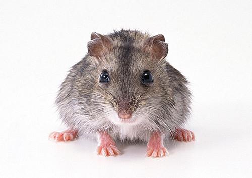 最近很火的鼠科动物gif