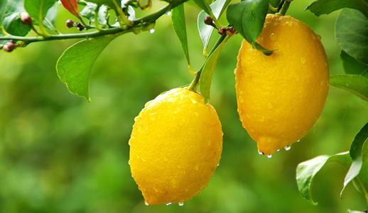 """安岳柠檬:一株苗子""""长出""""百亿元产业"""