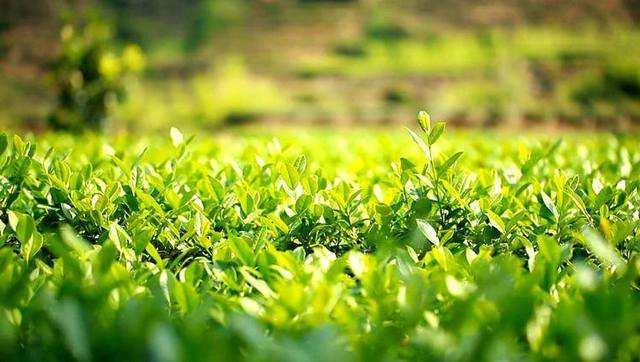铁观音茶文化系统成为乡村振兴动力源泉