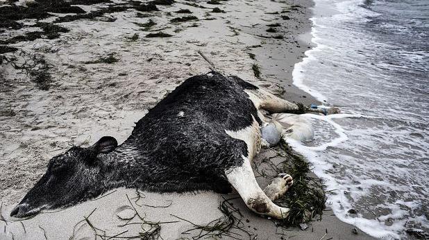 辽宁省西丰县发生牛炭疽疫情 死亡和扑杀动物已无害化处理