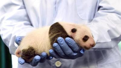 汶川地震受灾大熊猫幼崽亮相广州