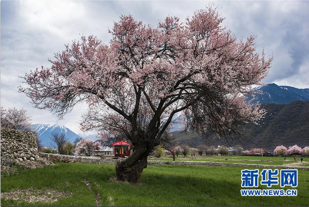 新华网西藏频道特别策划——波密之春美图系列