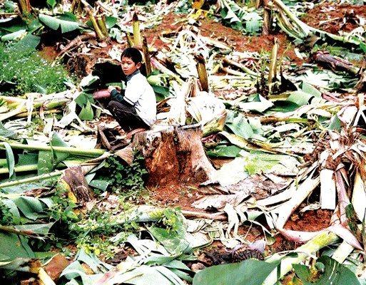 勐腊县 竹子开花枯死 野象群断粮下山庄稼受损