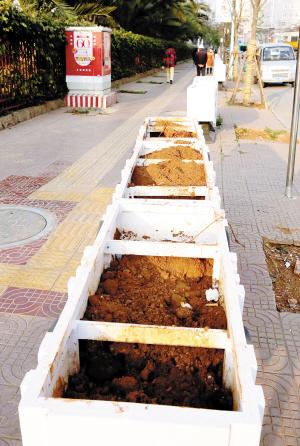 树坑空着 花开败了 昆明丹霞路行道景观堪忧