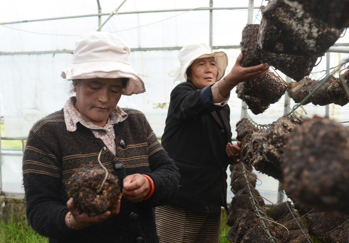 西藏日喀则:发展有机农牧产业效益凸显