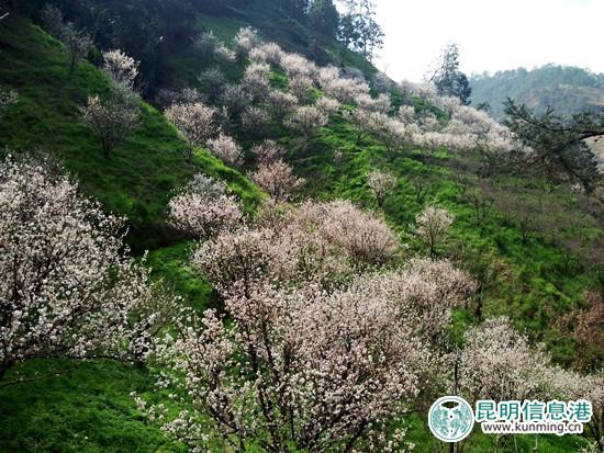 富民千亩樱桃花绘出世外桃源 3月摘美味樱桃
