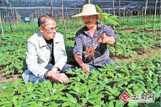 楚雄州大姚县中药材产业蓬勃发展