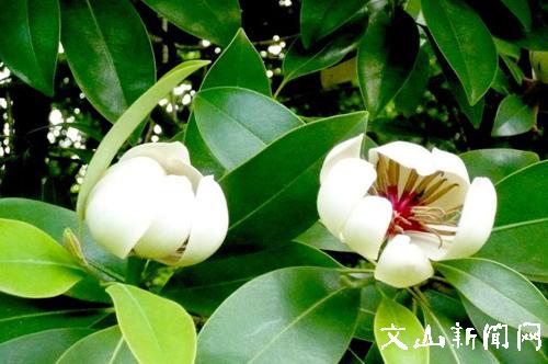 文山市将木兰和三七花定为市树市花
