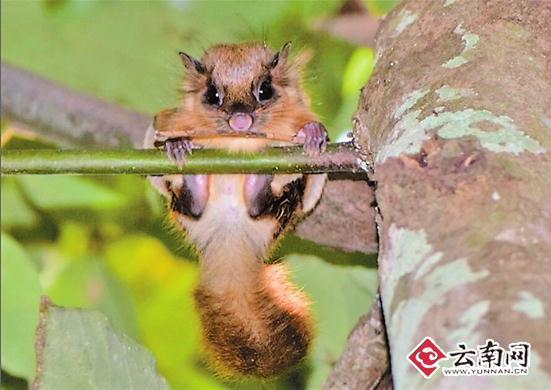 云南沟谷雨林发现珍奇动物——毛耳飞鼠
