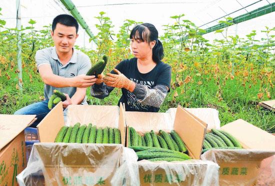 大理巍山:2.65万亩蔬菜获丰收