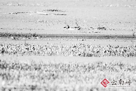 濒危物种白眉鸭30多年后再现昆明晋宁湿地