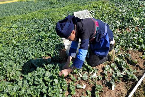 文山市引进蔬菜新品种助农增收120万元