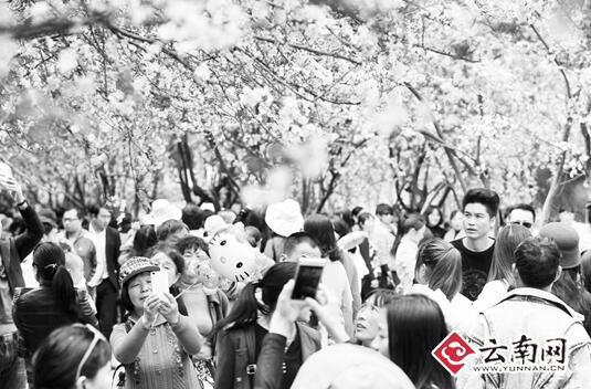 昆明动物园樱花海棠争艳 12万市民踏青赏春