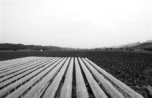 平果县4000亩火龙果种植基地带民众致富