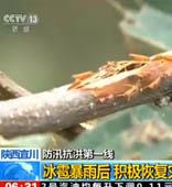 陕西宜川:冰雹暴雨后 积极恢复灾后生产