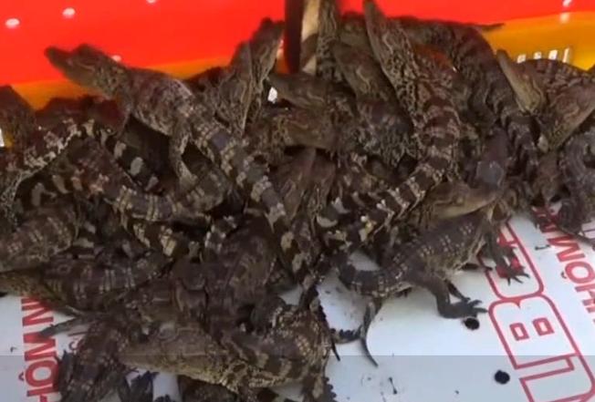 广西查获940条国家一级保护动物暹罗鳄鱼苗