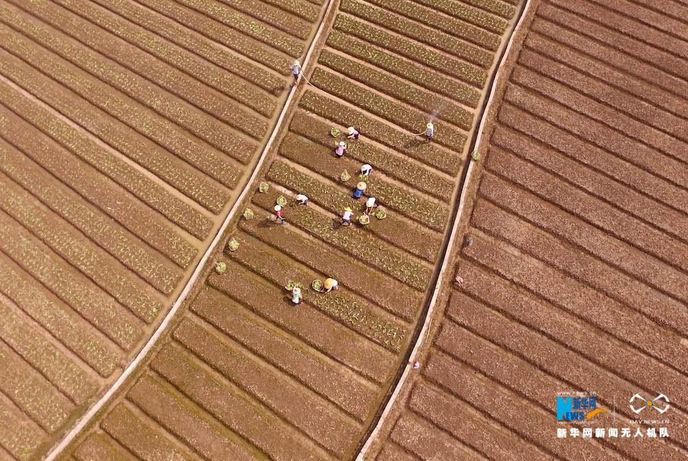 大地乐章|航拍广西贺州霜降时节农事忙