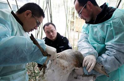 临潼老农救了受伤大鸟 竟是国家一级保护动物大鸨