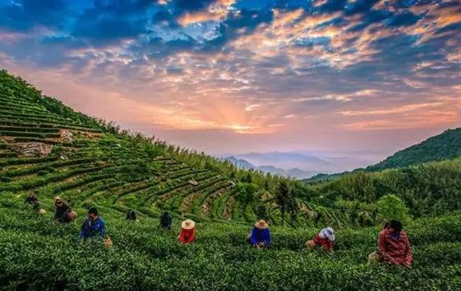 安徽这16种名茶,有没有你不知道的?