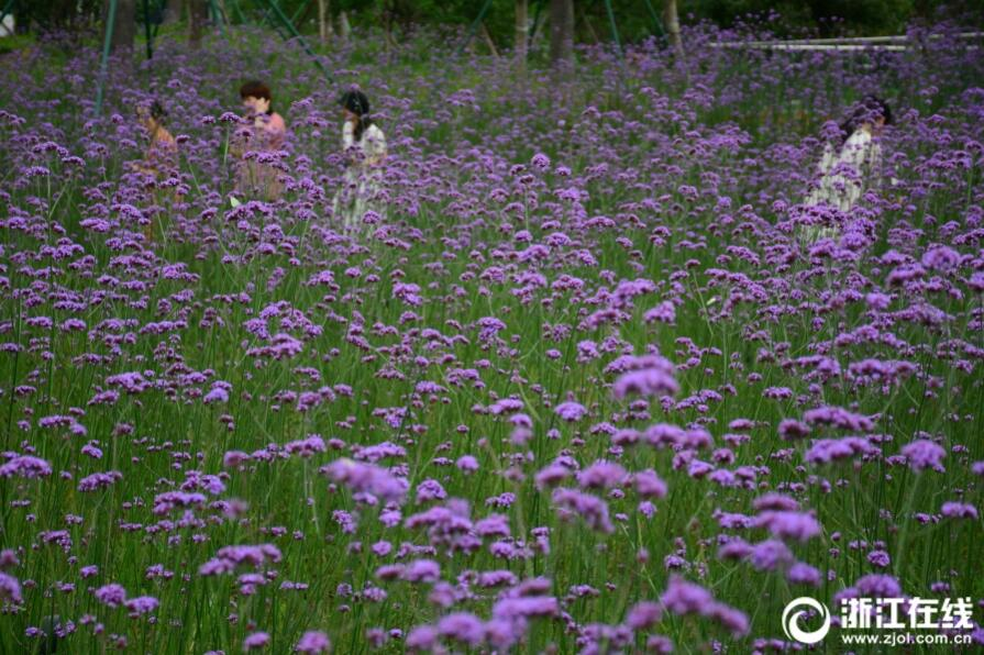 紫云浸染 台州马鞭草浪漫盛放