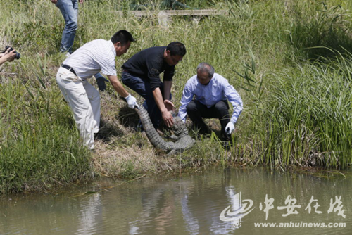 安徽六条扬子鳄放归指定野外 14年间共累计野放102条
