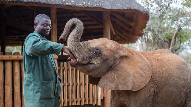 """贊比亞大象寶寶賴上飼養員""""奶爸"""""""