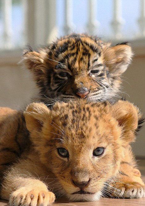 """动物园幼狮幼虎亲如""""兄弟""""亲昵乖巧"""