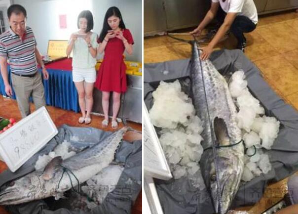 烟台现罕见鲅鱼王:蓝点马鲛长什么样的?