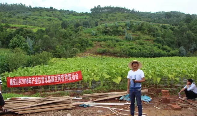 巍宝山乡:引导群众种植水晶豌豆促增收