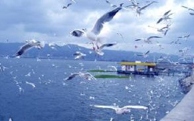 昆明海埂公园可以看海鸥了 翠湖还得再等等