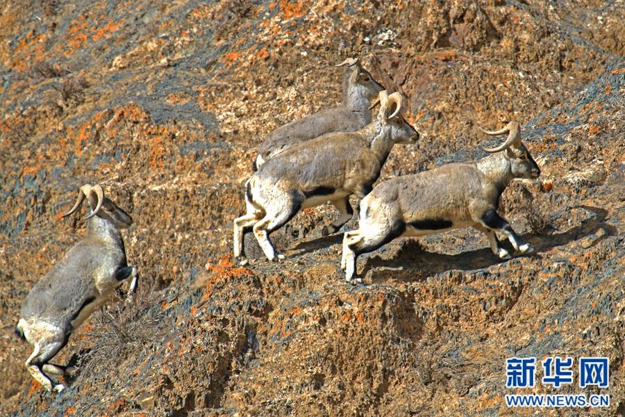 岩羊——青藏高原跳动的精灵