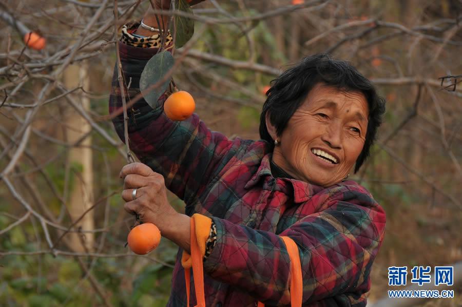 河南内黄:黄橙橙的柿子压枝头
