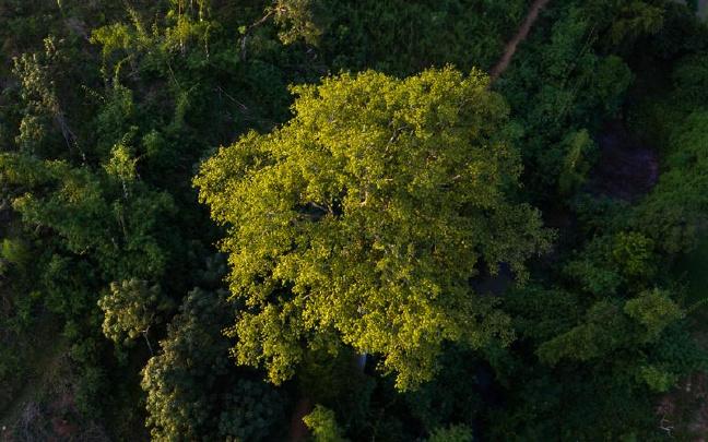 """云南300年""""最毒古树""""见证一段刻骨铭心的爱情"""