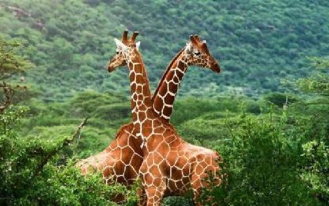"""云南野生动物园长颈鹿""""坐月子"""""""