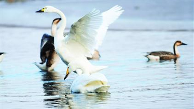今年留在渾河過冬的天鵝鴻雁又多了