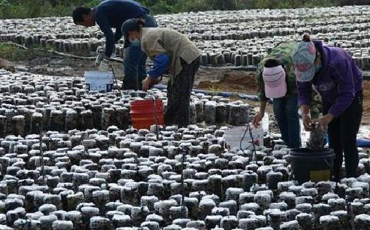 云南梁河:小木耳大产业