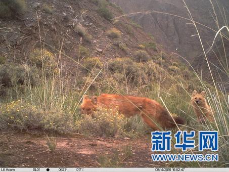 科研人员首次利用红外相机对祁连山青海侧开展野生动物调查