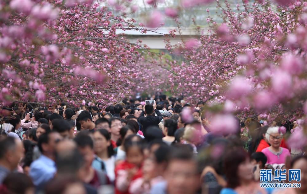 中科大校园樱花绽放 春色烂漫游人如织