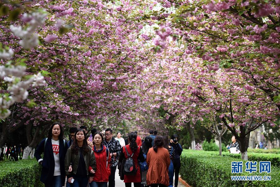 西安:春樱盛开