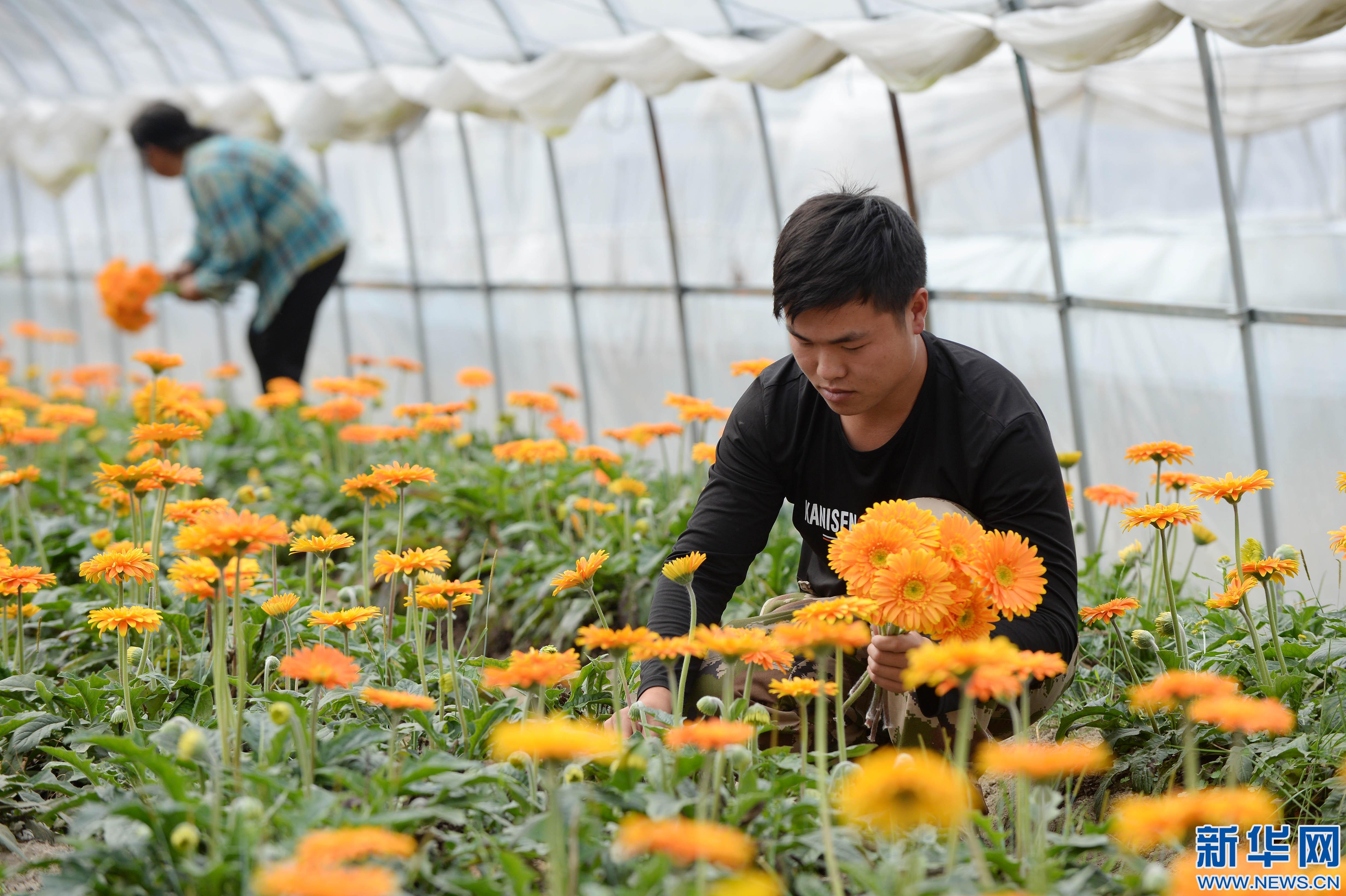 多彩非洲菊 产业富农家