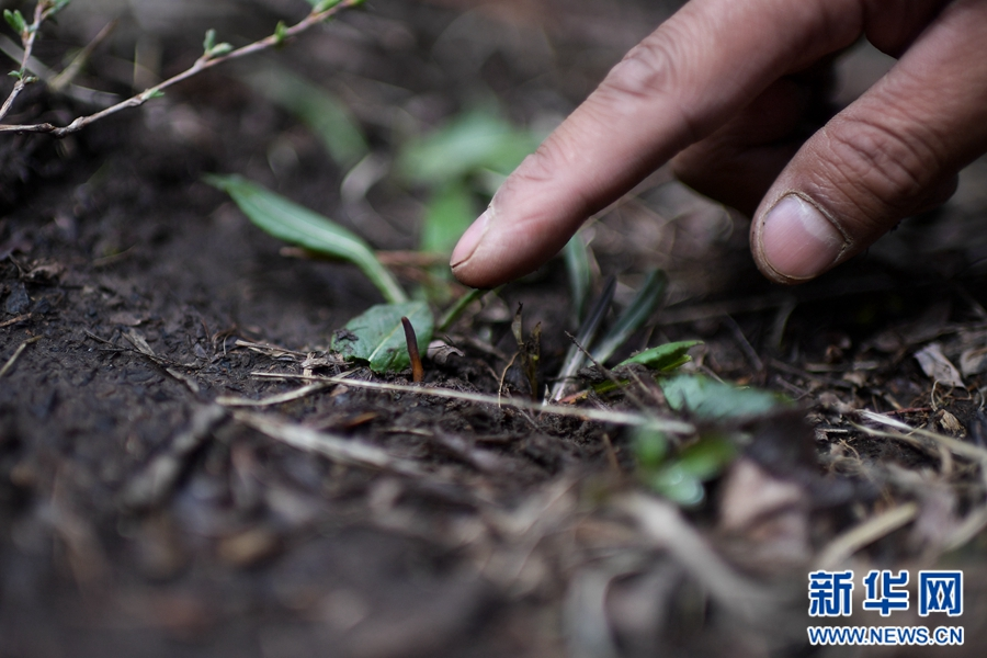 青海进入虫草采挖季