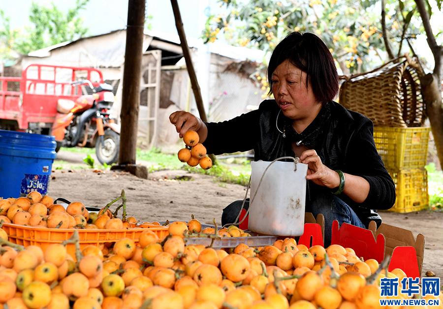 西藏察隅农场枇杷熟了