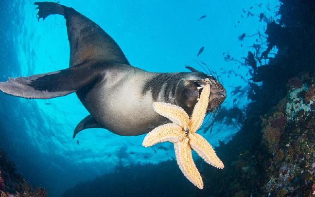 南非小海豹好萌!叼起海星送潜水员